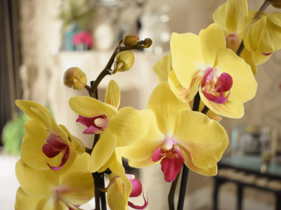 How to Rebloom and Care for Orchids